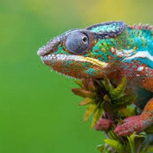 chameleon-company